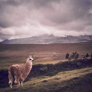 Chimborazo national park lama