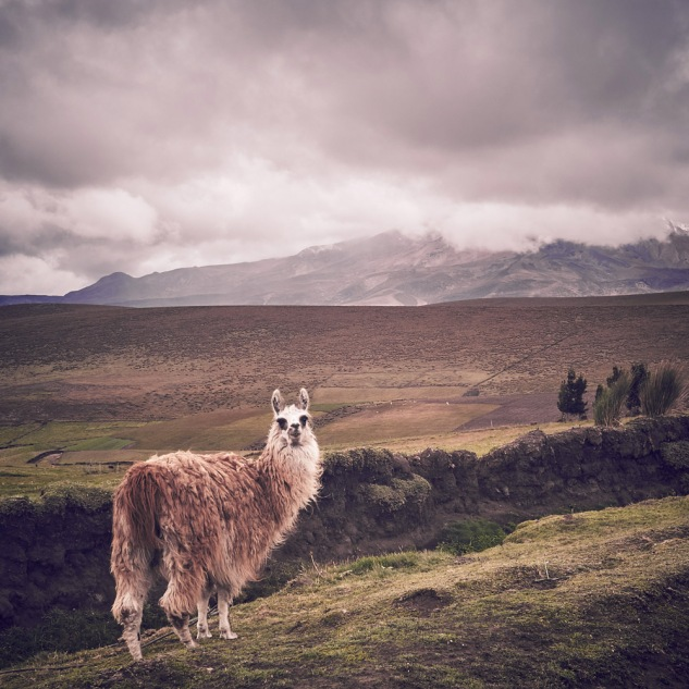 Chimborazo national park lama
