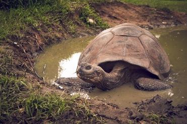 Ecuadorian turtle
