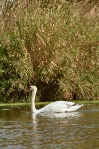 Paddling on the Mulde white swan